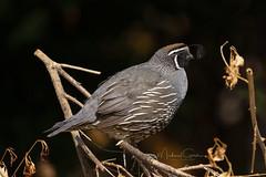 California Quail (NikonDigifan) Tags: californiaquail quail birdwatching bird nature naturephotography naturesfinest wildlife wildlifephotography nikond850 nikon nikon20050056 mikegassphotography