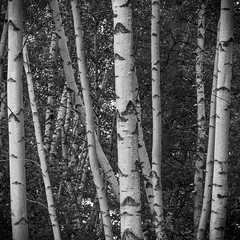 Birch Stand (Kevin Tataryn) Tags: birch trees forest woods hardwood nikon d500 tamron 70200 g2 canada ontario nature