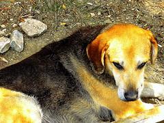 Acropolis Habitant (dimaruss34) Tags: newyork brooklyn dmitriyfomenko image greece athens acropolis dog