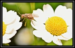 """Hop, Skip... and a Jump...!!!"" (NikonShutterBug1) Tags: macro closeup nikond7200 spe smartphotoeditor insect bug entomology fly wings tokina100mm fauna pollen flower flora"