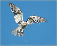 More Nesting Material 1058 (maguire33@verizon.net) Tags: bif elanusleucurus pradoregionalpark whitetailedkite bird birdofprey kite nest raptor wildlife