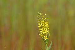 Lysimaque terrestre / Earth Loosestrife (alainmaire71) Tags: plante plant flower fleur primulaceae primulacées lysimaqueterrestre lysimachiaterrestris earthloosestrife jaune yellow nature quebec canada bokeh