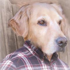 """Humanimal"" for Smile on Saturday! (Karon Elliott Edleson) Tags: humanimal dog atticus smileonsaturday funny smile mansbestfriend canine man golden goldenretriever processing photoshop"