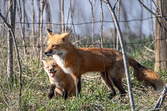 Playtime with Papa HFF (NicoleW0000) Tags: redfox fox cub kit animal wild wildlife naturephotography hff fence outside playing