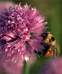 Bumblebee (Felip1) Tags: 197123021a