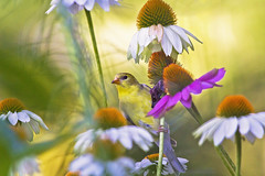 female on coneflowers ( explored ) (G_Anderson) Tags: goldfinch coneflowers missouri native garden songbird