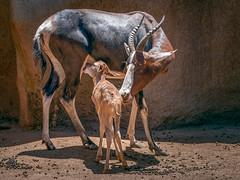 Nursing Bontebok (helenehoffman) Tags: africa conservationstatusleastconcern bovidae antelope sandiegozoo motherandchild mammal calf bontebok damaliscuspygargus animal