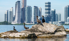 _DSC4921 (doug.metcalfe1) Tags: 2019 cormorant dougmetcalfe humberbayshores humberbay lakeontario ontario outdoor summer sunnyside toronto bird kayaking