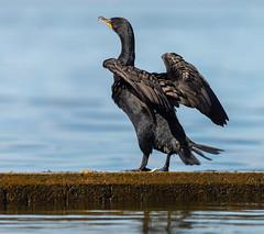 _DSC4957 (doug.metcalfe1) Tags: 2019 cormorant dougmetcalfe humberbay lakeontario ontario outdoor summer sunnyside toronto bird kayaking