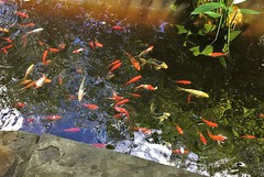 Rockville MD ~ Koi pond (karma (Karen)) Tags: rockville maryland montgomeryco clydestoweroakslodge koipond fish reflections iphone