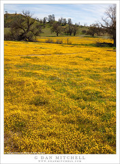 Wildflower-filled Meadow (G Dan Mitchell) Tags: sanluisobispo county yellow meadow field wildflower spring season nature shell creek road california usa north america 2019 hills trees bloom flowers blossoms carpet landscape