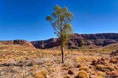 Ormiston Pound: lonely tree (NettyA) Tags: australia centralaustralia larapintatrail nt northernterritory ormistongorgeandpoundwalk ormistonpound outbackaustralia redcentre tjoritjiawestmacdonnellnationalpark westmacdonnellranges worldexpeditions bushwalk bushwalking tree