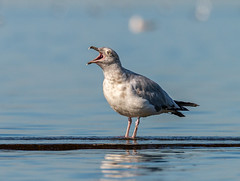 _DSC4900 (doug.metcalfe1) Tags: 2019 dougmetcalfe gull humberbay lakeontario ontario outdoor summer sunnyside toronto bird kayaking