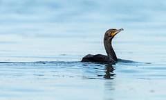 _DSC4918 (doug.metcalfe1) Tags: 2019 cormorant dougmetcalfe humberbay lakeontario ontario outdoor summer sunnyside toronto bird kayaking