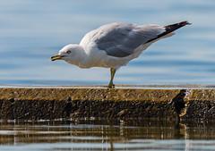 _DSC4959 (doug.metcalfe1) Tags: 2019 dougmetcalfe gull humberbay lakeontario ontario outdoor summer sunnyside toronto bird kayaking