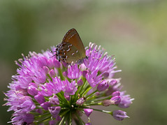 Up close (nwitthuhn) Tags: ornamentalonion allium millenium flowers juniperhairstreak