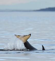 Orca Tail, San Juan Islands (mmcguire500) Tags: sanjuanislands washington ocean nature marine wildlife killerwhale orca