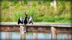 Let Me Tell You My Story (gatorgalpics) Tags: anhinga snakebird sweetwaterwetlandspark explore90