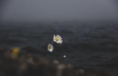 (cara zimmerman) Tags: fog lake flowers michigan upnorth