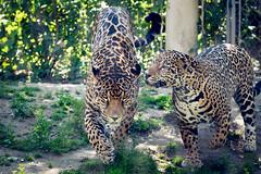 Jaguar About to Pounce (Eric Kilby) Tags: stone zoo cat bigcat jaguar