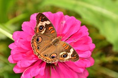 Common Buckeye (deanrr) Tags: commonbuckeye butterfly butterflyonflower zinnia pink pinkzinnia outdoor nature morgancountyalabama alabama 2019
