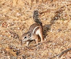 07182019000013023 (Verde River) Tags: squirrel bird birds nature rabbit rabbits