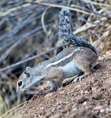 07182019000013008 (Verde River) Tags: squirrel bird birds nature rabbit rabbits