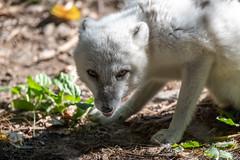 Arctic Fox Losing Winter Coat (Eric Kilby) Tags: stonezoo arctic fox summer
