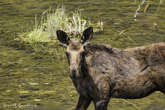 201907 Trip.80D.20190714_19-Edit (Scott Sanford Photography) Tags: 80d canon ef14xiii ef100400mmf4556lii eos naturalbeauty naturallight nature outdoor sunlight wildlife moose roadtrip travel trip vacation colorado wild