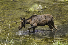 201907 Trip.80D.20190714_25-Edit (Scott Sanford Photography) Tags: 80d canon ef14xiii ef100400mmf4556lii eos naturalbeauty naturallight nature outdoor sunlight wildlife moose roadtrip travel trip vacation colorado wild