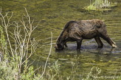 201907 Trip.80D.20190714_27-Edit (Scott Sanford Photography) Tags: 80d canon ef14xiii ef100400mmf4556lii eos naturalbeauty naturallight nature outdoor sunlight wildlife moose roadtrip travel trip vacation colorado wild