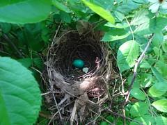 American Robin Nest (Roger Inman) Tags: animal bird robin egg nest plant multifloralrose