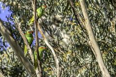Musk Lorikeet (Arcus Cloud) Tags: bird birds birdspotting birdwatching birdphotography birding wildlife wildlifephotography wildlifeandnature wildlifephoto wild nature nsw naturalworld naturewatcher natural australia australianwildlife australianbirds animal animals animalphotography