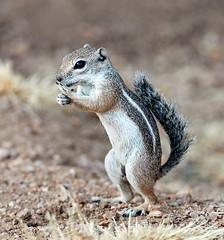07182019000013009 (Verde River) Tags: squirrel bird birds nature rabbit rabbits