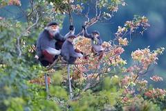 Chà vá chân nâu ở bán đảo Sơn Trà ( Đà Nẵng ) (quynhchi19102016) Tags: ve may bay gia re di da nang