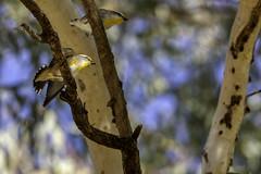 Striated Pardalote (Arcus Cloud) Tags: bird birds birdspotting birdwatching birdphotography birding wildlife wildlifephotography wildlifeandnature wildlifephoto wild nature nsw naturalworld naturewatcher natural australia australianwildlife australianbirds animal animals animalphotography
