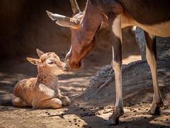 Nose Kisses (helenehoffman) Tags: africa conservationstatusleastconcern bovidae antelope sandiegozoo motherandchild mammal calf bontebok damaliscuspygargus animal