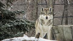 january 2016 brookfield zoo (timp37) Tags: wolf brookfield zoo illinois 2016 winter snow january