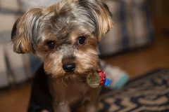 chewie (timp37) Tags: dog chewie 2016 january