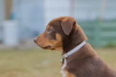 Milo - Kelpie (mechanicsphotography) Tags: dog puppy kelpie aussiedogs brown workingdogs
