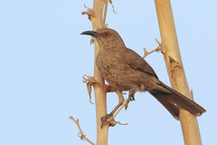 Curve-billed Thrasher (Greg Lavaty Photography) Tags: curvebilledthrasher toxostomacurvirostre texas july terlingua brewstercounty birdphotography outdoors bird nature wildlife