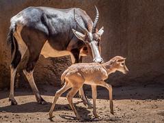 Supported By Mom (helenehoffman) Tags: africa conservationstatusleastconcern bovidae antelope sandiegozoo motherandchild mammal calf bontebok damaliscuspygargus animal