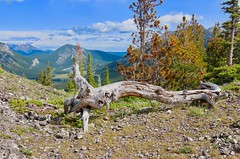 Wasootch Ridge Summit Scramble -Krummholz with a green Prairie View Mountain and a flat face of Mt Yamnuska  in the distant background, left (benlarhome) Tags: wasootchridge kananaskis alberta canada scramble hike trek