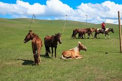 Roping your horses (kiwi vic) Tags: mongolia sergelen nomadic nomads horses horseracing trials