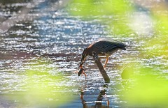 mid morning catch- Green Heron (foto tuerco) Tags: green heron frog oregon