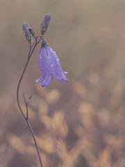 Blume (.niraw) Tags: köln merheimerbroich wiese blume blüte makrofotografie stativ stack bokeh led unschärfe schärfentiefe lila gold niraw abend abends pflanze heliconfocus olympus hochformat tropfen
