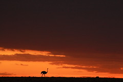 Lonely sunset (adupaix) Tags: africa african animal background beautiful bird color dusk environment evening fauna kenya landscape masaimara nature orange ostrich ostriches outdoor park red safari savanna scenery scenic silhouette silhouetted sky summer sun sunlight sunrise sunset sunsetsky tourism travel wild wildlife yellow oiseau savannah anim animals anima animalplanet natur naturephotography