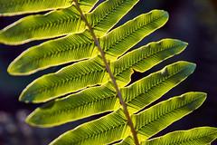 20190630-DSC_2686 (wangxu94) Tags: aotearoa newzealand nature glentuilooptrack forest mountthomasforestconservationarea leaves leaf closeup sunlight detail canterbury
