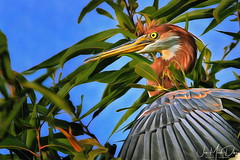Hiding in plain sight (QuakerVille) Tags: jonmarkdavey wakodahatchee wetland wildlife florida boyntonbeach delray alligator birds flocks fl usa tricolored juvenile heron