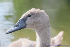There Once Was An Ugly Duckling........ (law_keven) Tags: cygnet swans swan birds avian dedham england wildlife photography wildlifephotography riverstour
